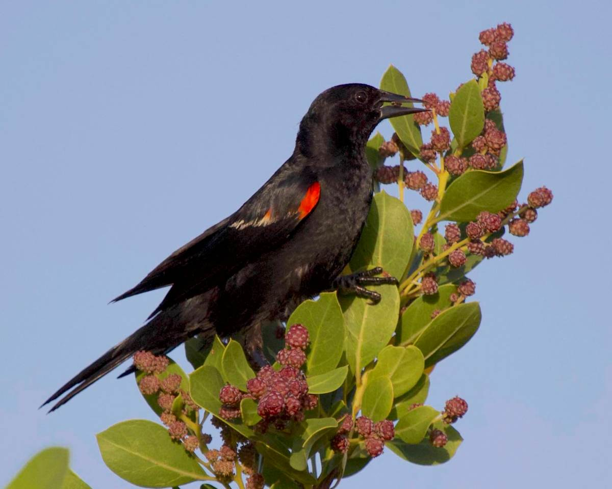 Red-winged Blackbird, Abaco Bahamas (Alex Hughes)
