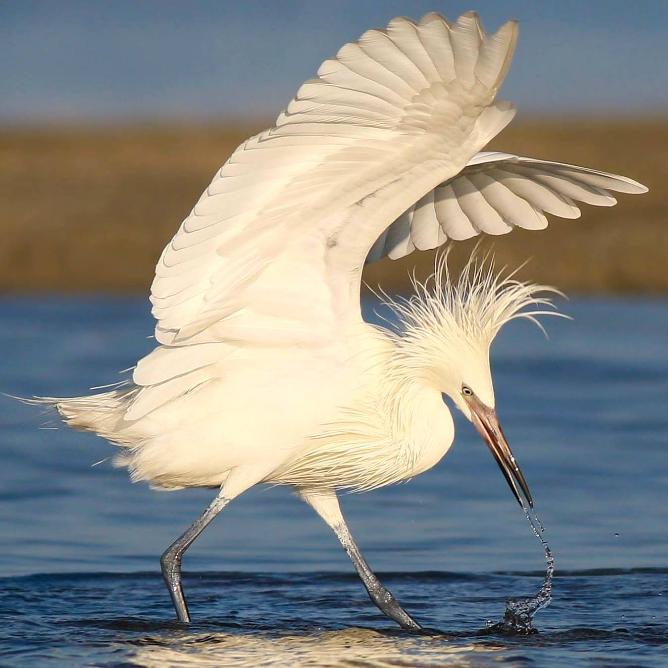 Reddish Egret (white morph ) Danny Sauvageau