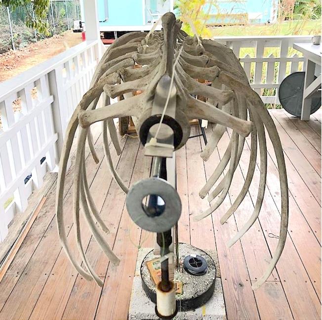False Killer Whale skeleton, Abaco Bahamas (BMMRO)