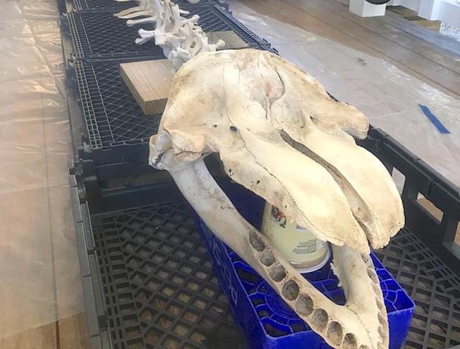 False Killer Whale skull, Abaco Bahamas (BMMRO)