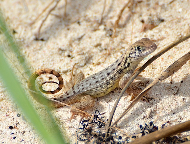 Curly-tailed Lizard, Abaco Bahamas (Charles Skinner)
