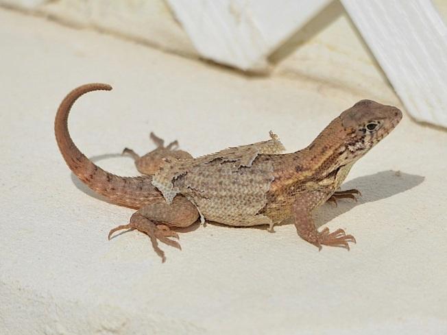Curly-tailed Lizard, Abaco Bahamas (Charles Skinner)