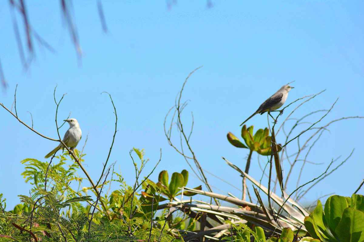 Leucistic & Normal Bahama Mockingbird, Abaco Bahamas (Keith Kemp)