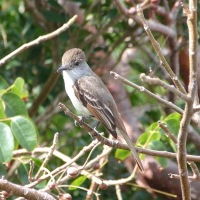 LA SAGRA'S FLYCATCHERS REVISITED ON ABACO