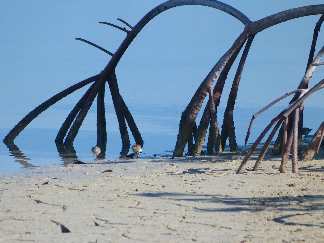 Least Sandpipers Calidris minutilla, Abaco Bahamas (©Keith Salvesen)