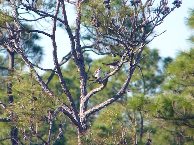 American Kestrels mating, Abaco Bahamas (Rolling Harbour)