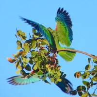 AGGRO ON ABACO: 'PARROTS OF THE CARIBBEAN'