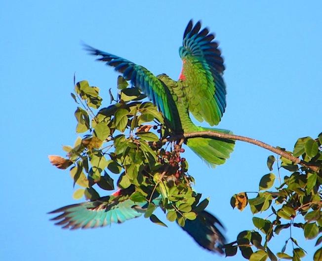 Abaco (Cuban) Parrots, Bahamas (©Keith Salvesen)