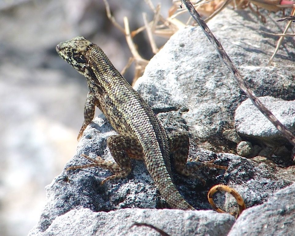 Curly Tail Lizards Bahamas | ROLLING HARBOUR ABACO