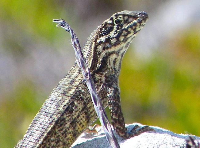 Curly-tailed Lizard, Abaco Bahamas (Keith Salvesen)