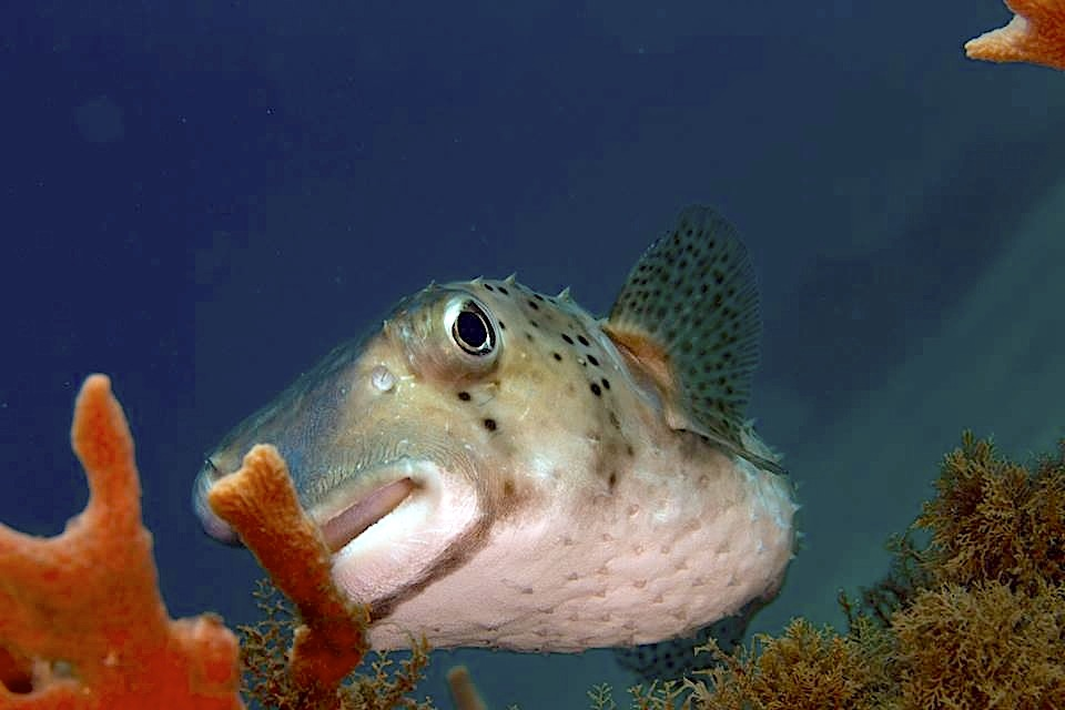 Porcupinefish, Bahamas (Adam Rees / Scuba Works)