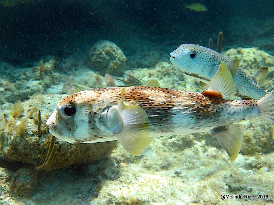 Porcupinefish, Bahamas (©Melinda Riger / Grand Bahama Scuba)