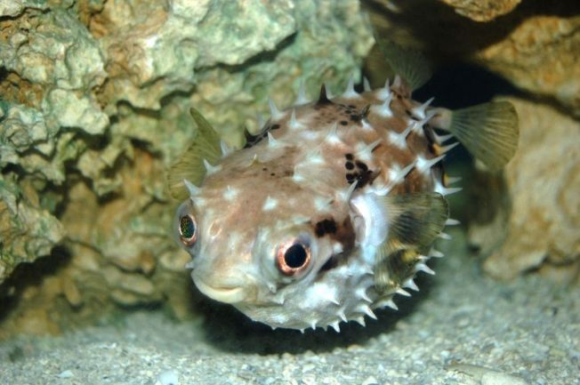 Porcupinefish, Bahamas (George Parilla wiki)