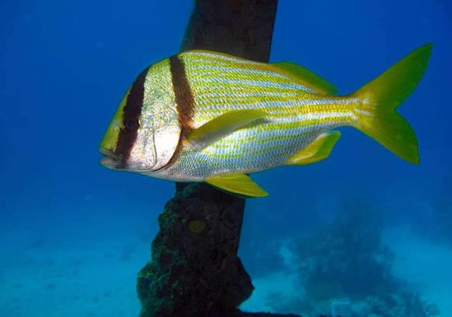 Porkfish (Grunt), Bahamas - Melinda Riger / Grand Bahama Scuba