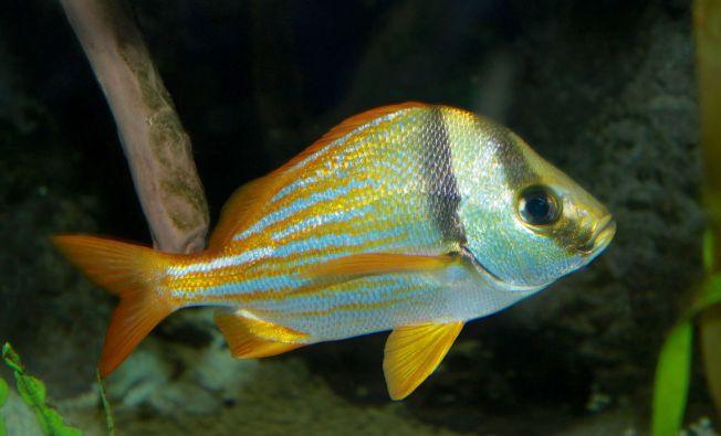 Porkfish (Grunt) - Brian Gratwicke (wiki)