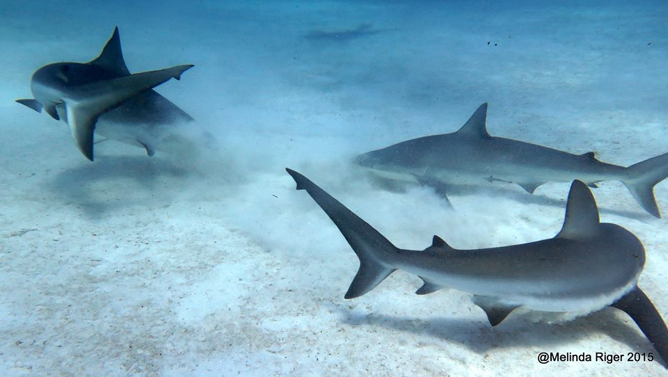 Sharks feeding in the Bahamas (Melinda Riger / Grand Bahama Scuba)