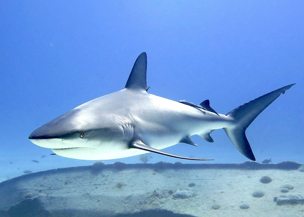 Sharks in the Bahamas (Melinda Riger / Grand Bahama Scuba)