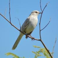 BAHAMA MOCKINGBIRD: RARE LEUCISTIC VARIANT ON ABACO