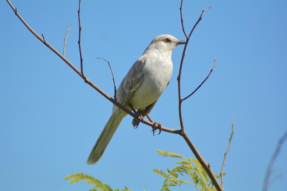 Leucistic Bahama Mockingbird, Abaco Bahamas (Keith Kemp)