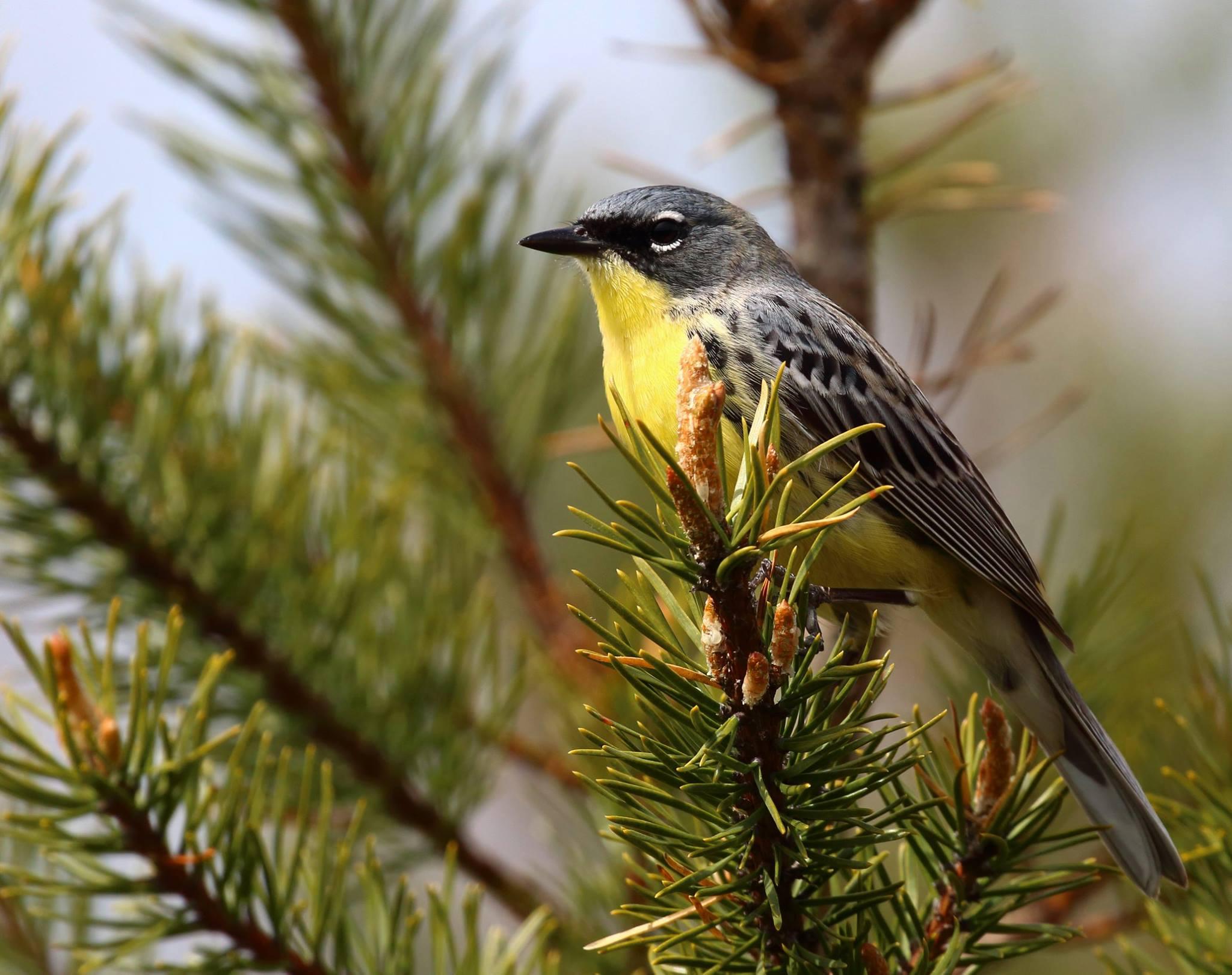 Kirtland's Warbler, Michigan (©Vince Cavalieri)