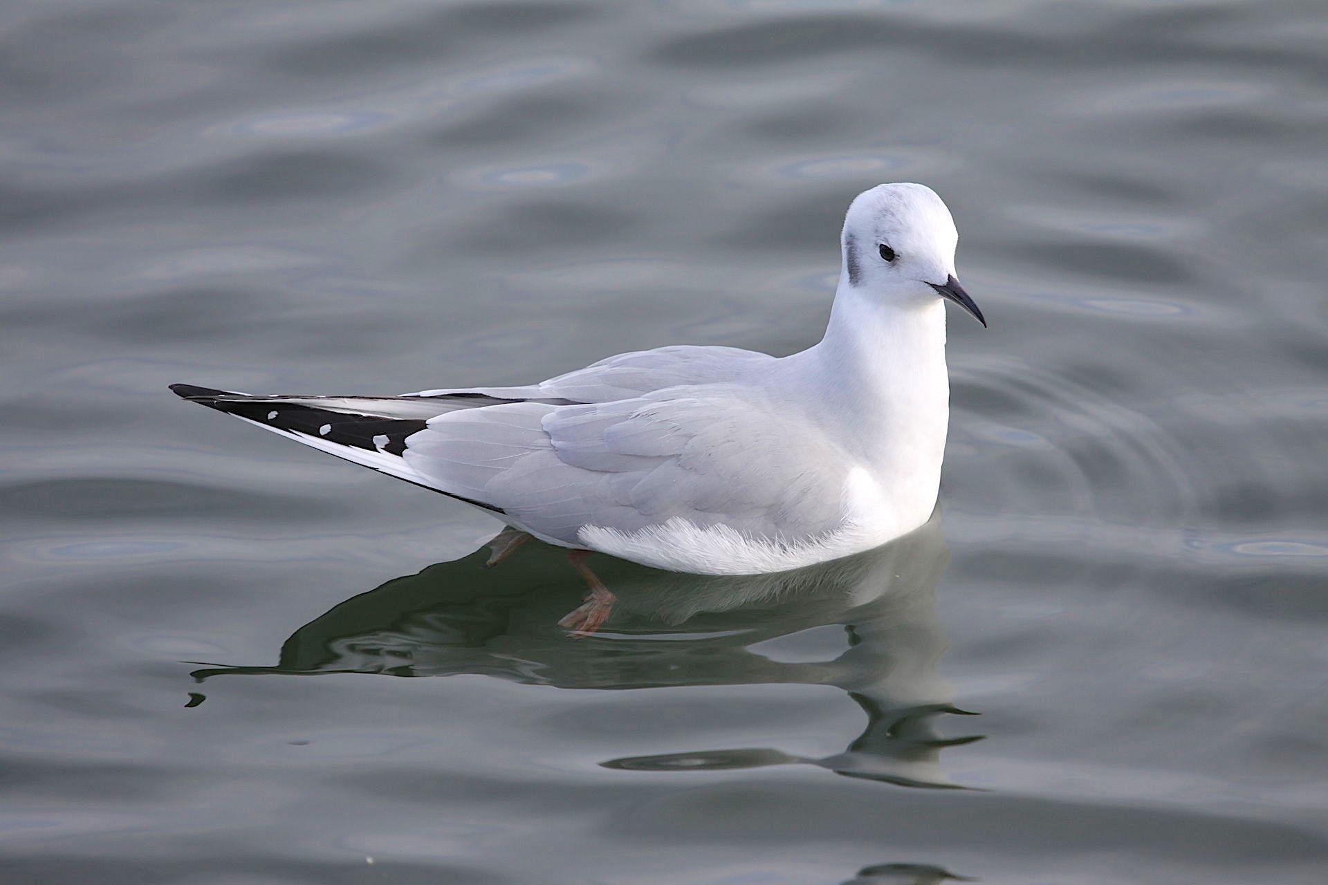Bonaparte's Gull (Basar, wiki)