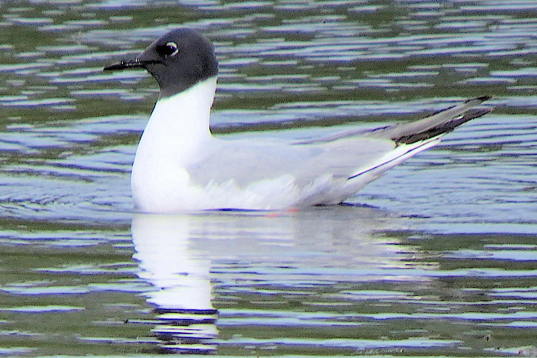 Bonaparte's Gull, Abaco Bahamas (D Gordon Robertson wiki)