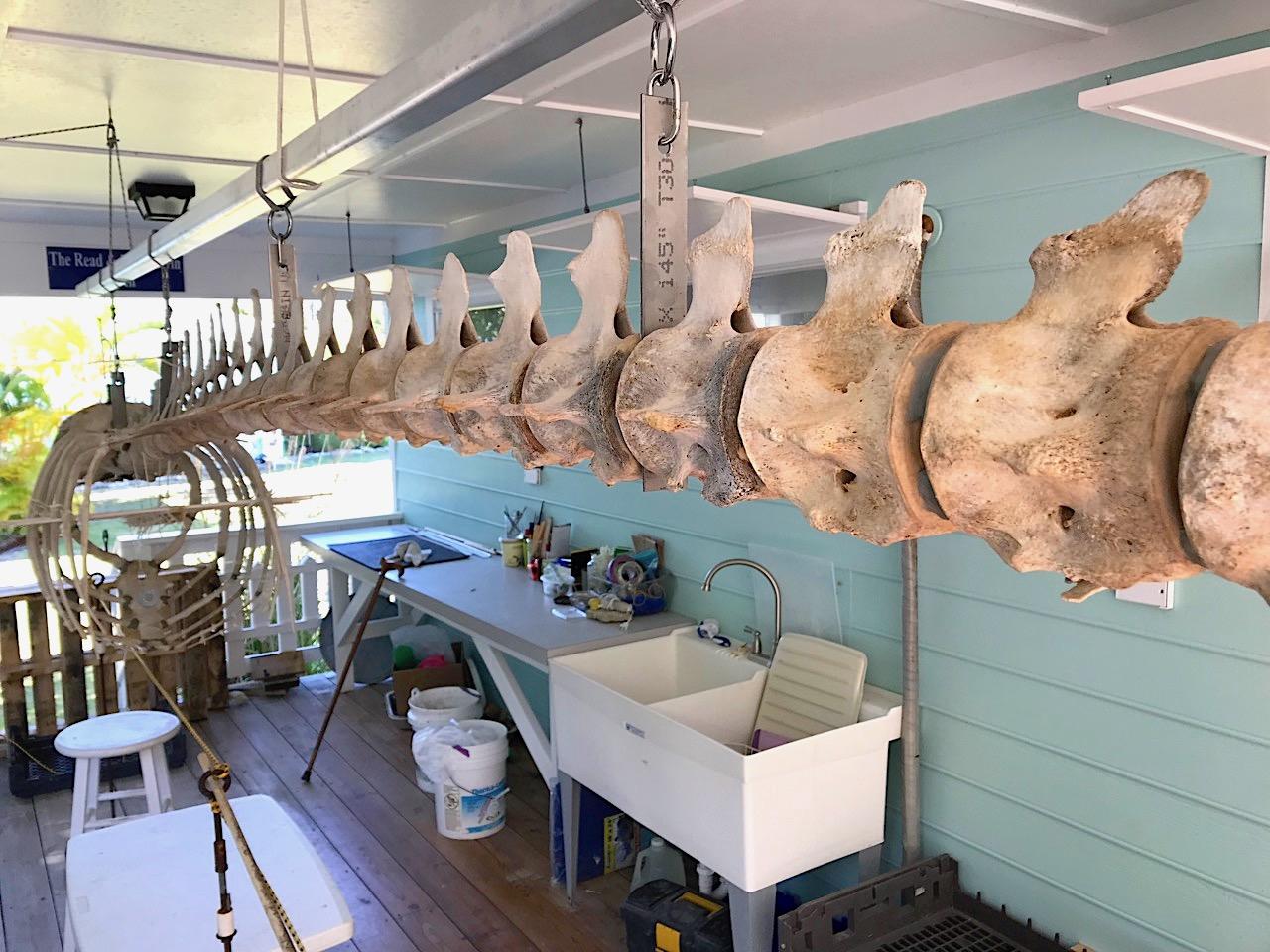 False Killer Whale Skeleton, Abaco Bahamas (Keith Salvesen / BMMRO)