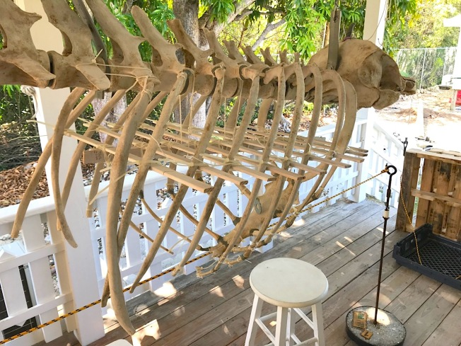 False Killer Whale Skeleton, Abaco Bahamas (Keith Salvesen / BMMRO)