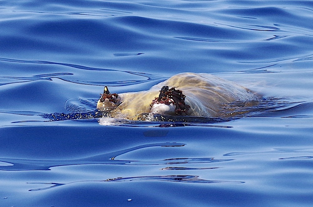 Blainville's Beaked Whale, Abaco Bahamas (Keith Salvesen / BMMRO)