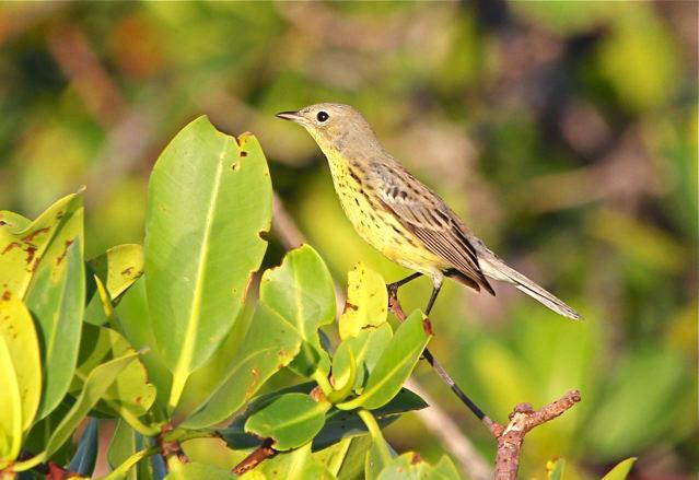 Kirtland's Warbler, Abaco Bahamas (Bruce Hallett)