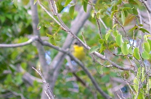 Kirtland's Warbler, Abaco Bahamas (Unattributed Epic Fail)