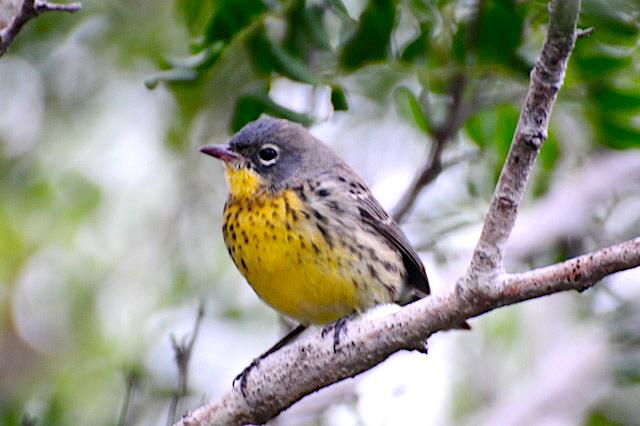 Kirtland's Warbler, Abaco Bahamas (Woody Bracey)