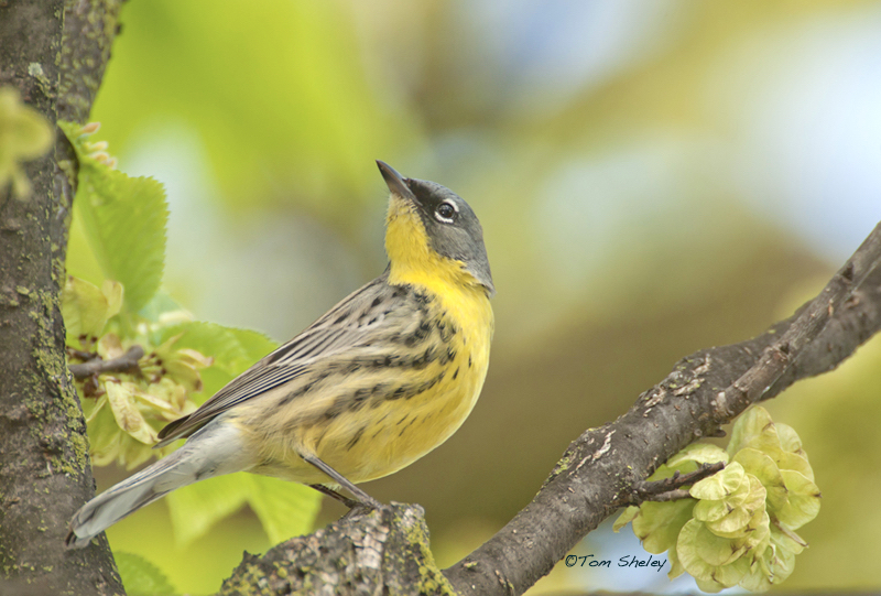 Kirtland's Warbler, Ohio (Tom Sheley)