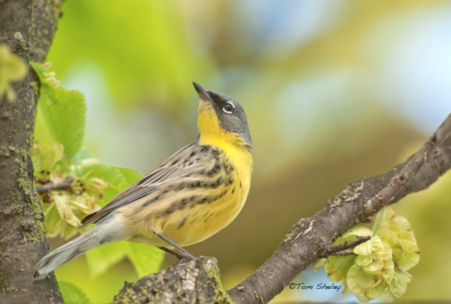 Kirtland's Warbler (Tom Sheley)