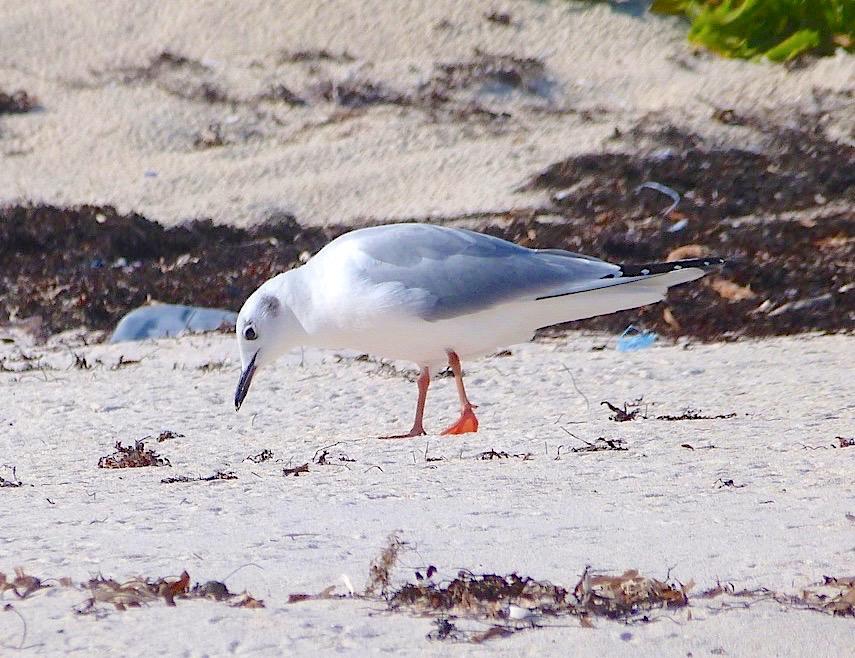 Bonaparte's Gull, Abaco Bahamas (Keith Salvesen)