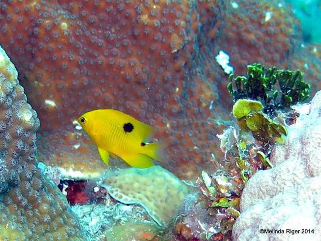 Threespot Damselfish (Melinda Riger / GB Scuba)