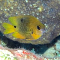 BAHAMAS REEF FISH (45) THREESPOT DAMSELFISH