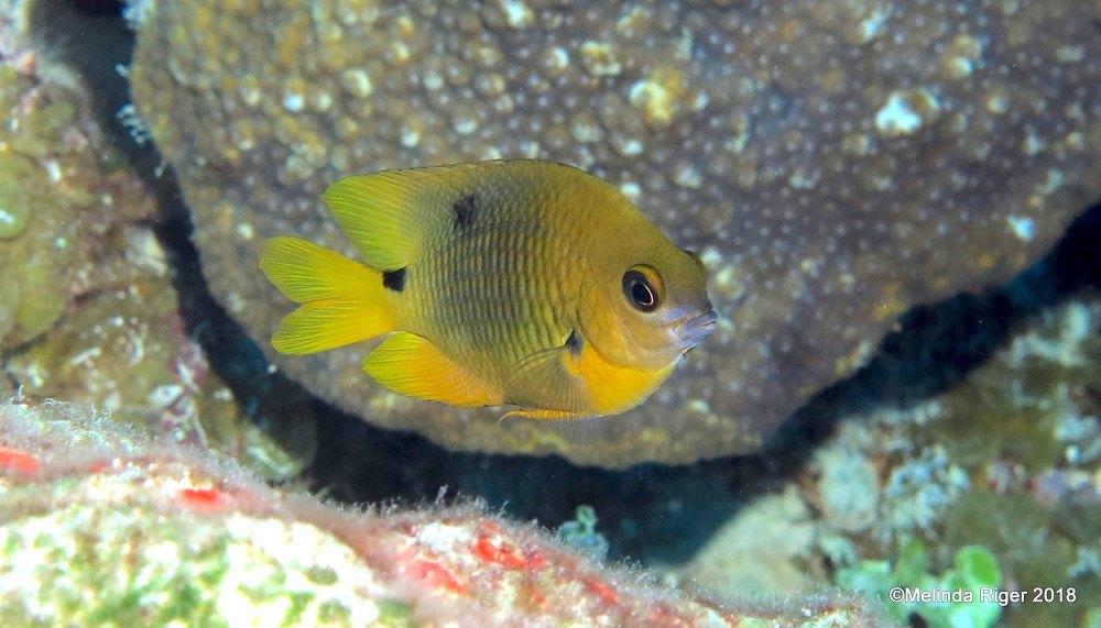 Threespot Damselfish (Melinda Riger / GB Scuba)