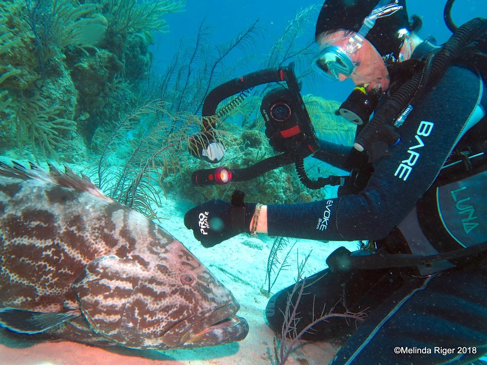 Black Grouper Bahamas (Curious George) - Melinda Riger / GB Scuba