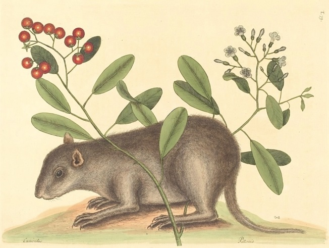 Hutia by Mark Catesby (c18)