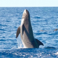 'SOCIABLE DOLPHINS': MELON-HEADED WHALES