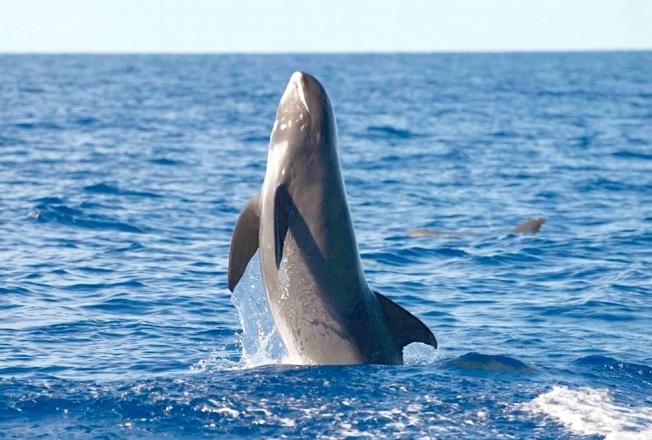 Melon-headed whales, Bahamas (BMMRO / Field School)