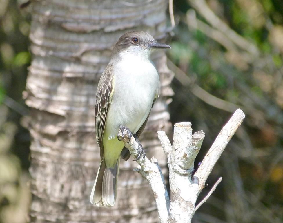 Loggerhead Kingbird, Abaco Bahamas (Keith Salvesen)