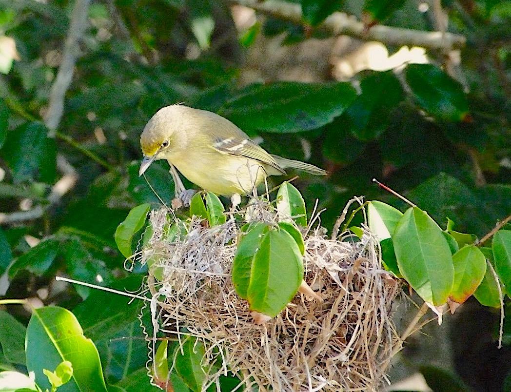Thick-billed Vireo nesting - Delphi, Abaco (Keith Salvesen)