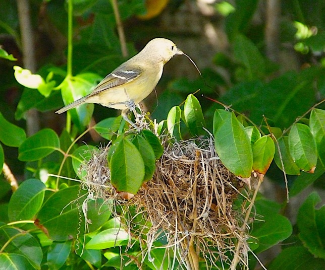 Thick-billed Vireo nesting - Delphi, Abaco (Keith Salvesen)
