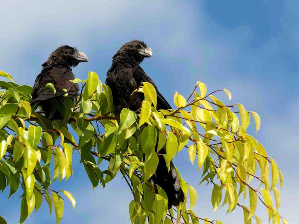 Smooth-billed Ani, Abaco Bahamas (Nina Henry)