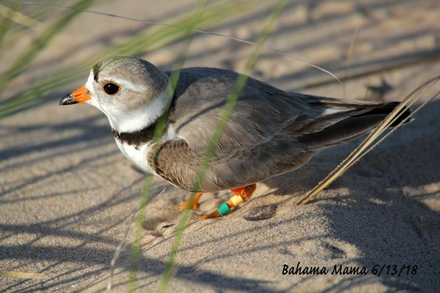 Piping Plover Bahama Mama, Michigan / Abaco (Carol Cooper)