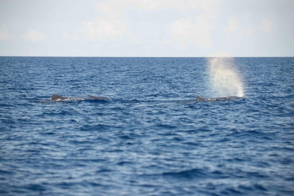 Sperm Whales, Abaco Bahamas (BMMRO / Keith Salvesen)