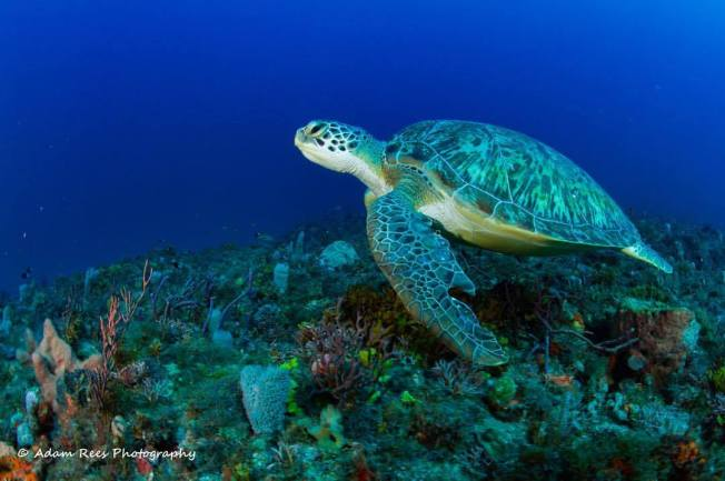 Green Turtle, Bahamas (Adam Rees)