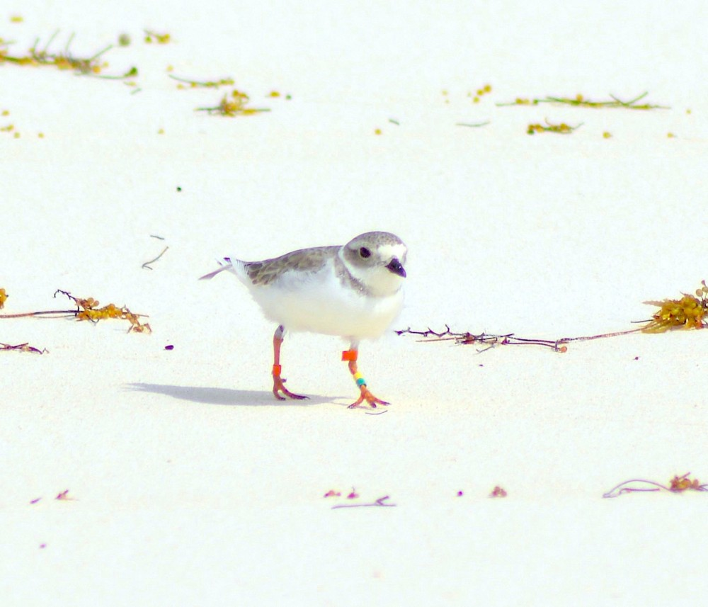Bahama Mama Piping Plover, Long Beach Abaco (Keith Kemp)